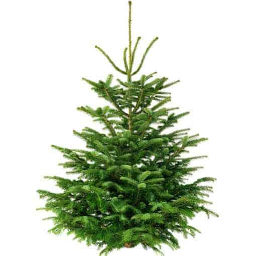 Weihnachtsbaum 300cm von Weihnachtstanne24.de