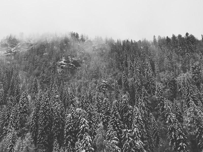 Tannenbaum Wald
